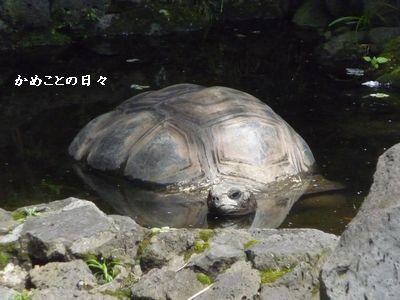 P1500777-kame.jpg