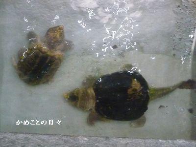 P1530721-wani.jpg