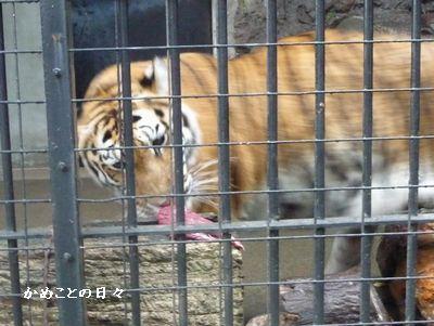 P1530774-tigar.jpg