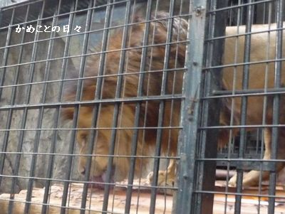P1530782-lion.jpg