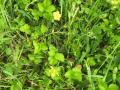 ヘビイチゴ 20120430a