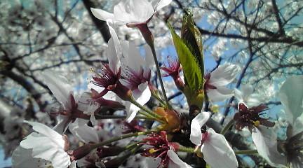 110414桜
