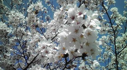 1104132桜
