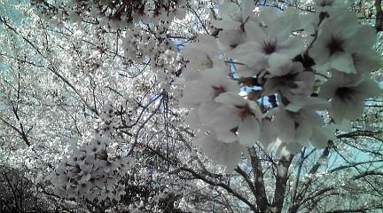 110413桜