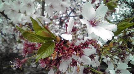 1104162桜