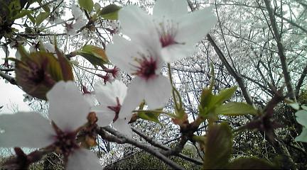 110415桜
