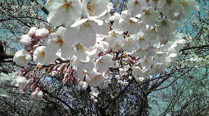 桜201249