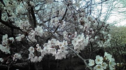 桜201248