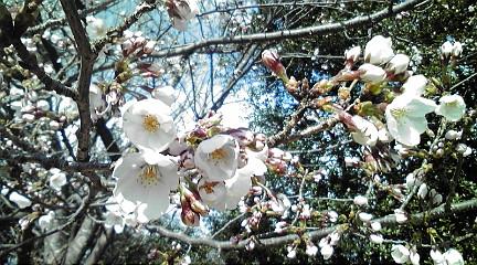 桜201247