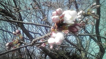 桜201245