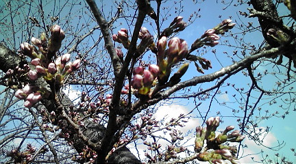 桜201244