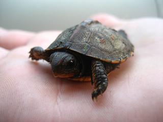 turtle_small__515393926.jpg