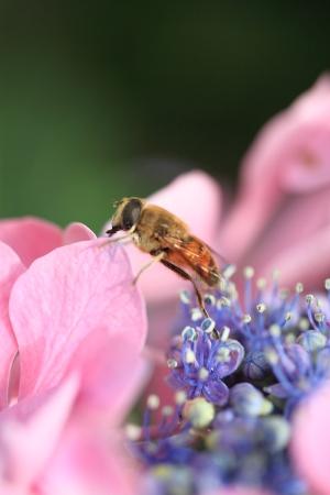 5D_2193_あじさいとミツバチ