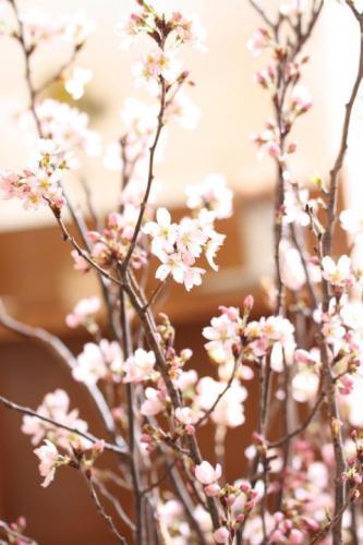 20120408啓翁桜