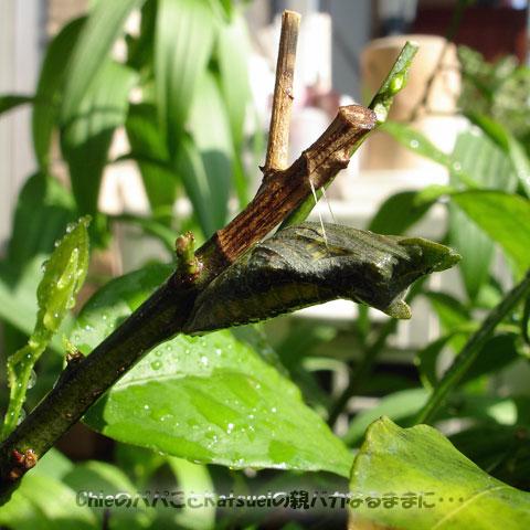 アゲハの蛹 2012-04-29
