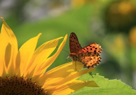 蝶とヒマワリ