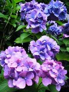 Ajisai_20100703_3.jpg