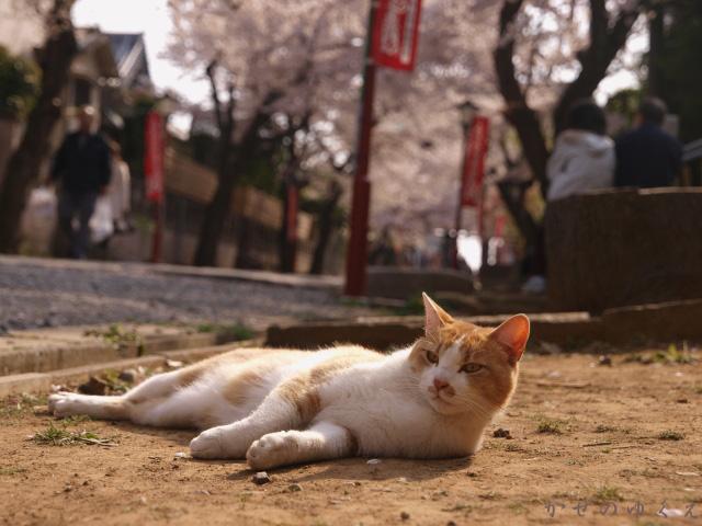春猫桜 蔵出し3