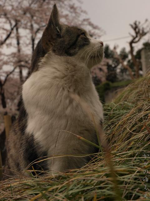 春猫桜 蔵出し2