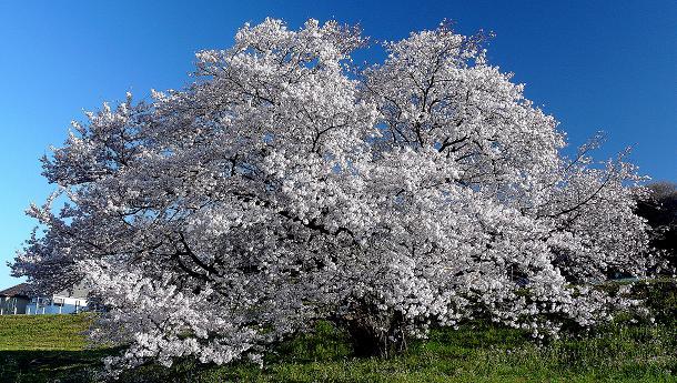 丸子多摩川土手桜