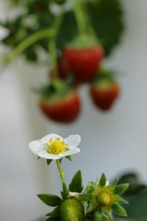 DSC06160イチゴの花