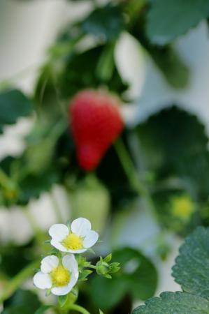 DSC06180イチゴの花