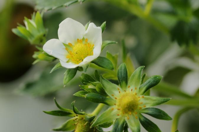 DSC06078イチゴの花