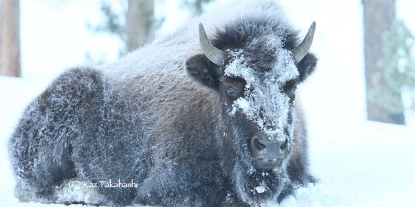 Yellowstone-冬-6