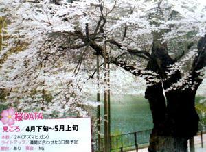2本の老桜