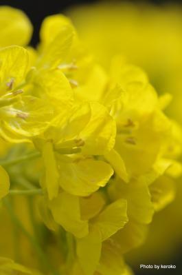 2013-02-14守山なぎさ公園菜の花1