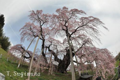 三春滝桜(2)