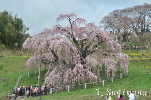 三春滝桜(1)