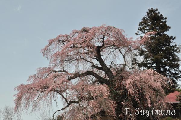 三春民家の滝桜
