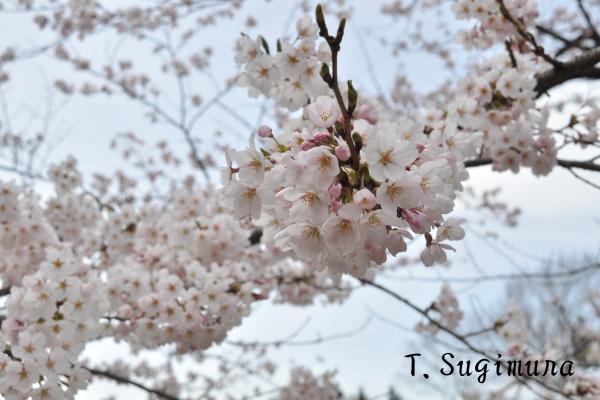 福聚寺桜 part2