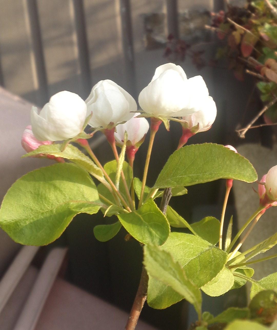 ヒメリンゴ (2)