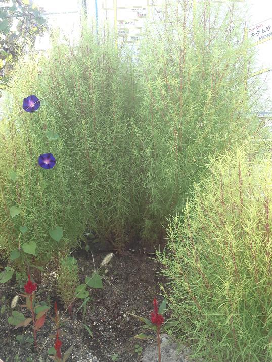 ほうき草と朝顔
