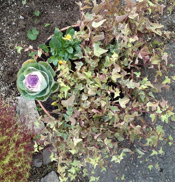 葉ボタン寄せ植え