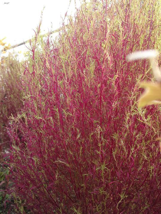 ほうき草。紅葉