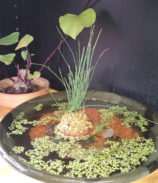イチョウゴケ・トクサと越冬