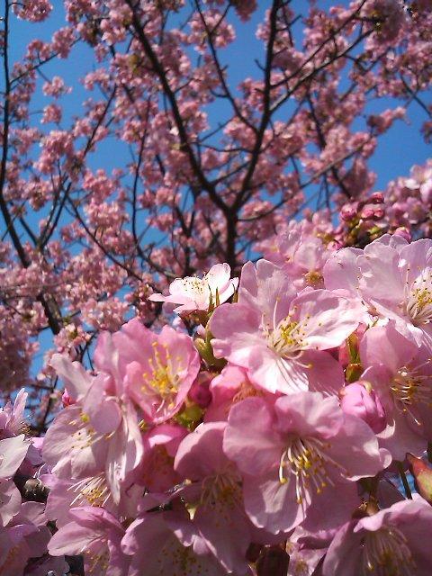 11022604桜UP