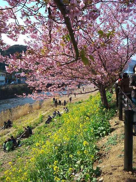 11022607桜菜花小道