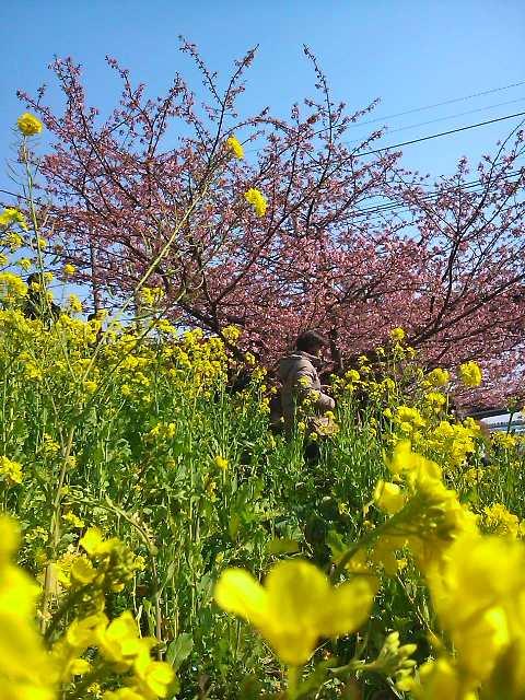 11022608桜菜花UP