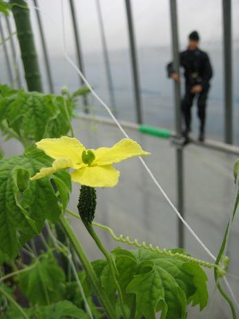 にがうり開花