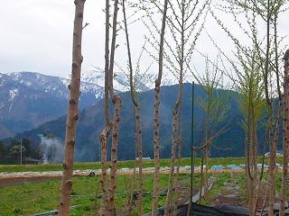 桜の苗木と山