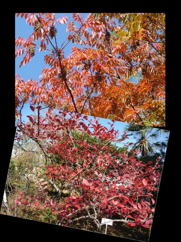 ハゼとブルーベリーの紅葉