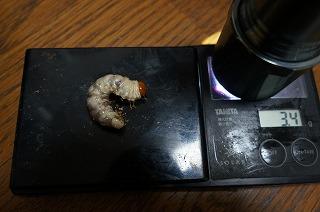 ヤエヤマコクワ3.4g