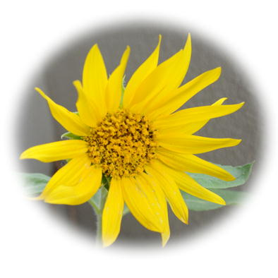 ブログヒマワリの花