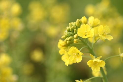 菜の花_0127