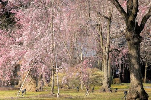桜_0180-1