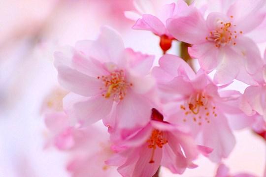 開幕桜_0171